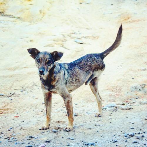 Este lindo cão deficiente eu conheci na entrada da Fazenda Ipanema. Não é lindo? #photo #photooftheday #photograph #photographers #photography #fotografia #gilbergantunes #brasil #brazil #foto #cão #dog #cachorro #cão #animal #pet #amor #caodeficiente #fa