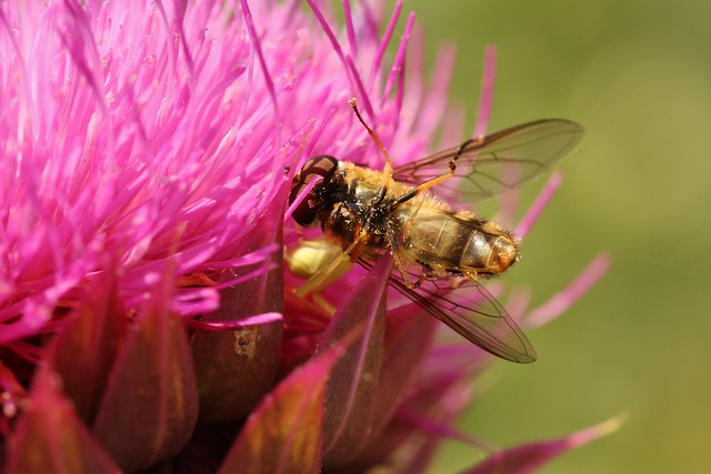 Crab spider eating hoverfly