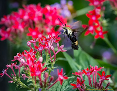 Snowberry Clearwing (Hermaris diffinis)