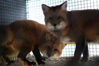 Revevalper i bur på pelsfarm