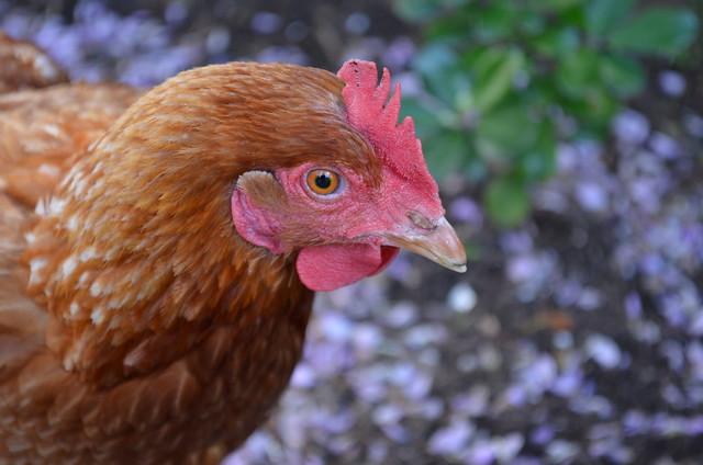 Chicken lilac x2