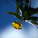 Yellow Oleander by nosillacast