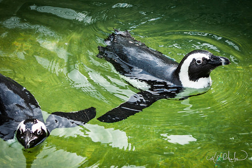 Penguins at the Memphis Zoo