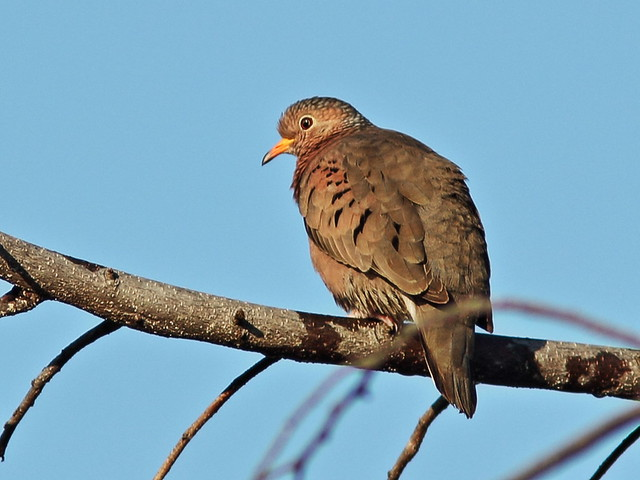 Ground Dove at 65 feet CROP 60D 20141228