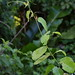Small photo of Gouania lupuloides Rhamnaceae