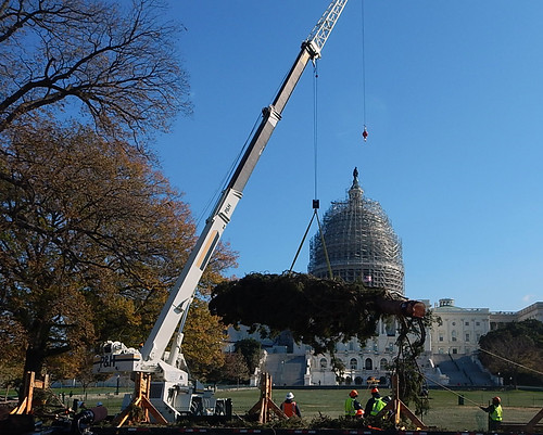 Workers use a crane to lift an 88-foot spruce tree harvested from the Chippewa National Forest to its final resting place on the west lawn of the U.S. Capitol. The scaffolding surrounding the dome is part of a multi-year restoration project to repair deficiencies. (U.S. Forest Service/Mary LaPlant)