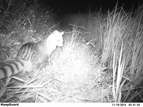 麝香貓也來石虎田打工。(圖片來源:新竹林管處)