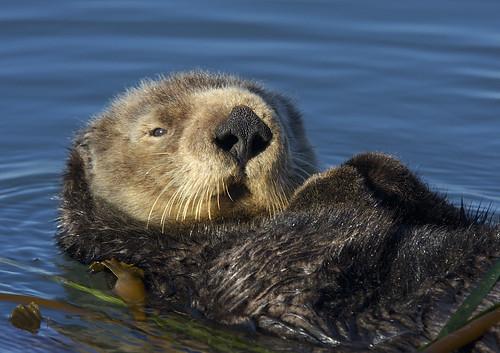 S. Sea Otter (Enhydra lutris)