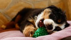 animal(1.0), puppy(1.0), dog(1.0), pet(1.0), mammal(1.0), close-up(1.0), bernese mountain dog(1.0),