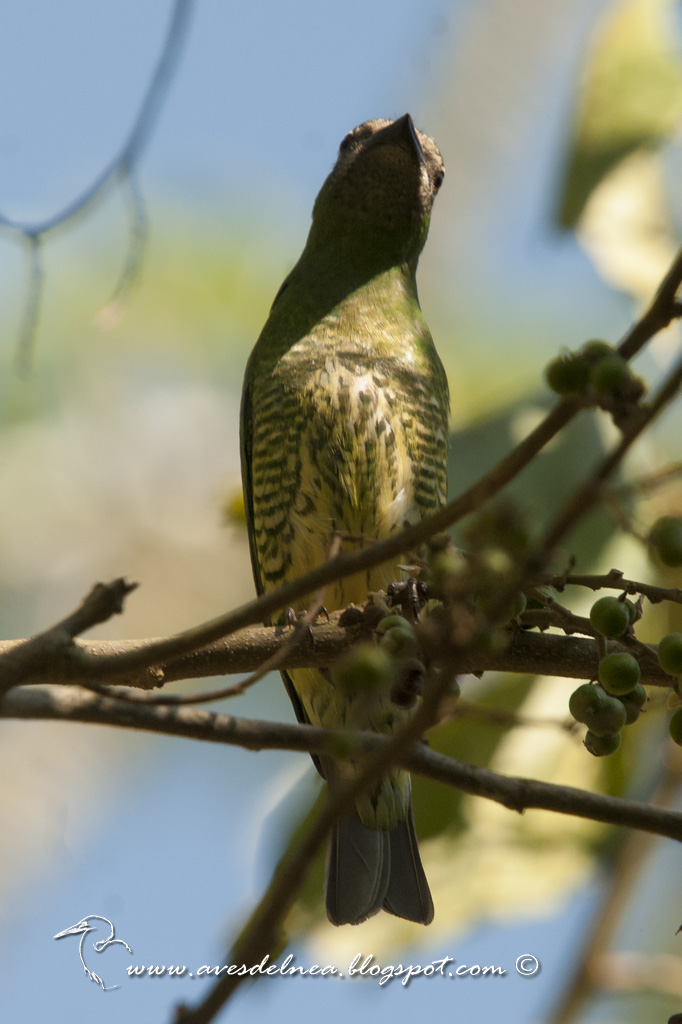 Tersina (Swallow tanager) Tersina viridis