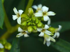 Spurge Flax (Daphne gnidium) flowers - Photo of Le Pouget