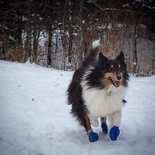 He loves winter. #jasper #Sheltie