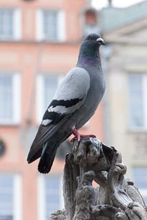 Handsome pigeon