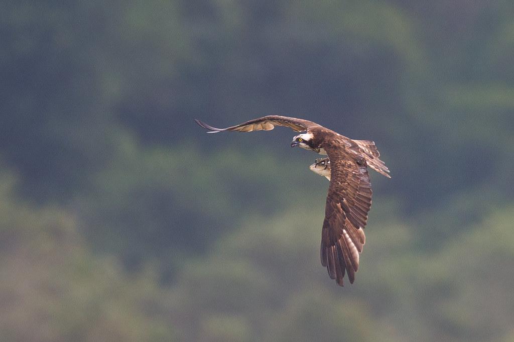 魚鷹-0982