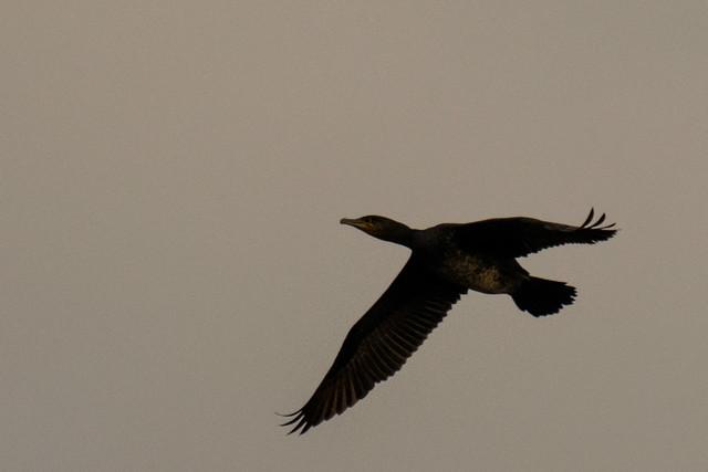 DSC_2913 Cormorant