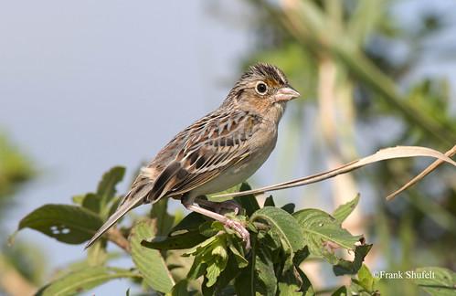 usa birds florida aves northamerica sparrows wma grasshoppersparrow ammodramussavannarum wldlife 9252 hendrycounty dinnerislandranch wldlifemanagementarea december2014