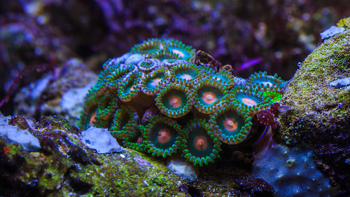 Zoantharia coral