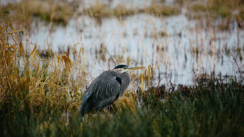 bird heron nature washington wildlife pacificnorthwest marsh greatblueheron canonef100400mmf4556lisusm nisquallynationalwildliferefuge canoneos5dmarkiii