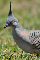 Crested Pigeon - a matter of style
