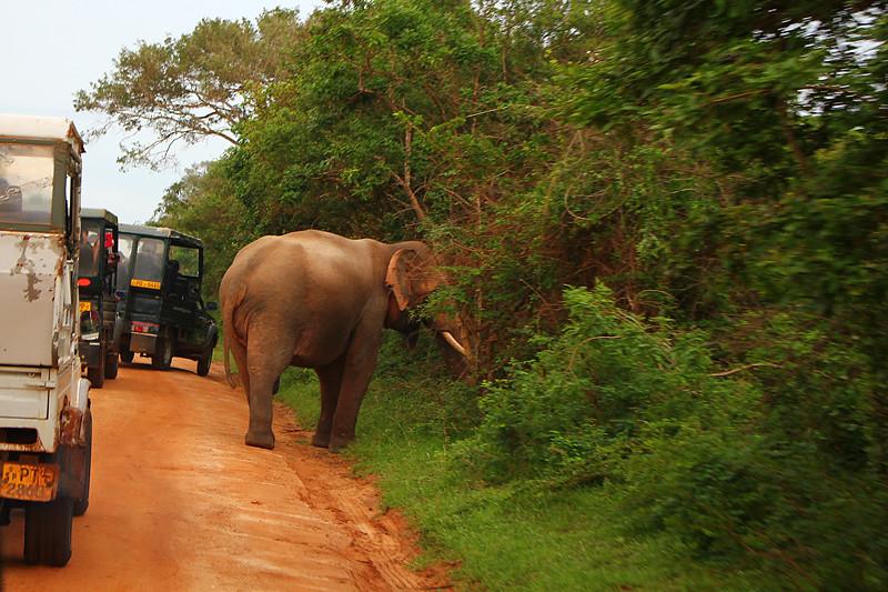 Wild elephant - Yala National Park