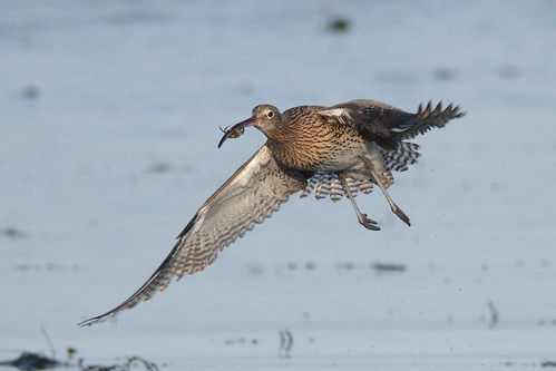 Curlew (with crab)