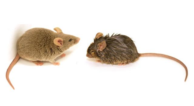 ratones3