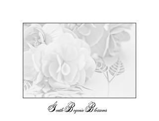 Begonias On Tray