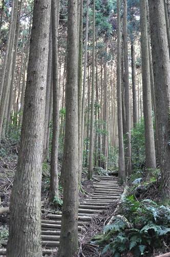 加里山步道-柳杉林