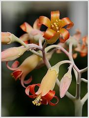 cotyledon orbiculata de las crassulaceae