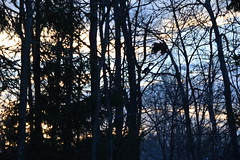 23/11 Squirrel and abandoned nest at sunrise