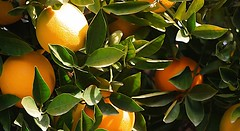 evergreen, calamondin, citrus, leaf, yellow, tree, kumquat, yuzu, flora, green, fruit, bitter orange, mandarin orange,