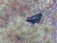 animal, branch, tree, raven, fauna, bird, crow-like bird, wildlife,