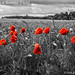 Poppies in a Somme Field by IHD Photography
