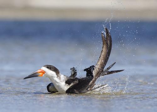 ocean sunset bird nature inflight gulf florida wildlife tarponsprings splashing blackskimmer rynchopsniger splashingwater birdbathing fredhoward