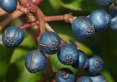 Laurustinus (Viburnum tinus) fruits close-up