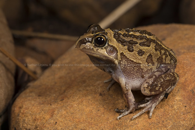 Long footed frog