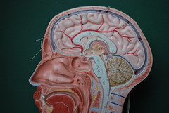 mouth, illustration, brain, organ,