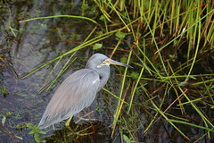 TRICOLORED HERON #2