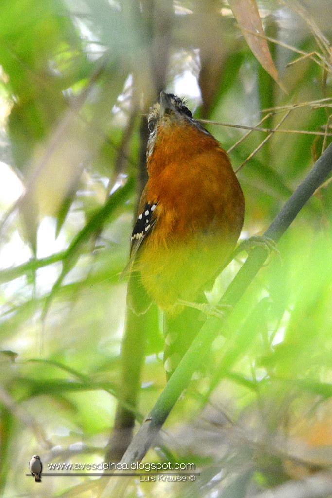 Tiluchi colorado (Bertoni´s Antbird) Drymophila rubricollis0