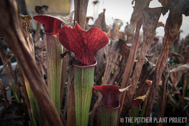 Sarracenia alata - Maroon Throat