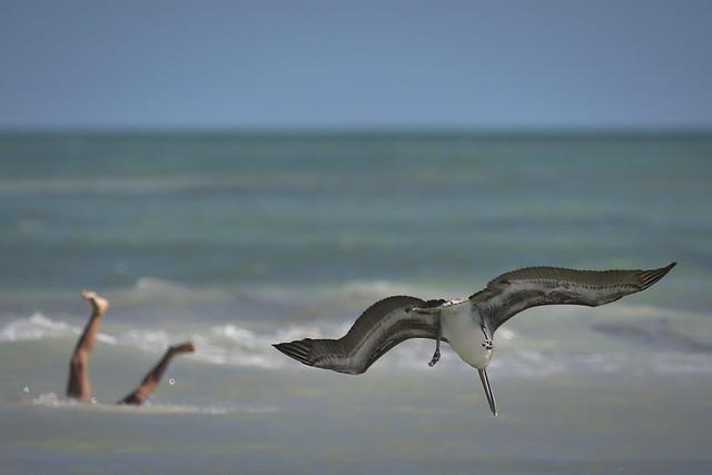 Ave a punto de sumergirse en las aguas de Cayo Bahía Honda. Florida.