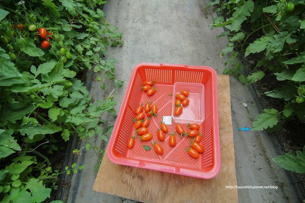 番茄 (25)