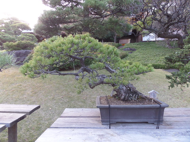Bonsai Tree at Happo-en Garden