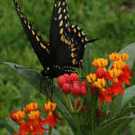Eastern Black Swallowtail nectaring on Tropical Milkweed, Asclepias curassavica