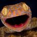Tokay Gecko by Kutub Uddin...