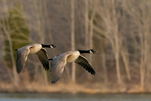 lake sunrise dawn geese poetry poem flight goose canadagoose