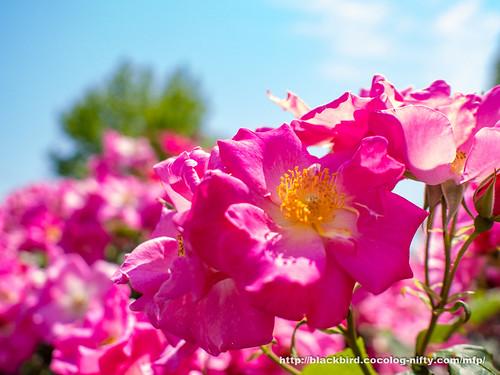 Rose & Blue sky #02