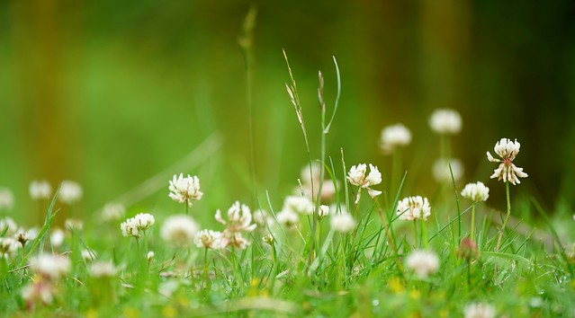 Clover close-up on the low-down lawn