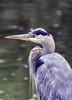 Great Blue Heron by Hawkeye2011