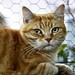 Le chat roux inquiet Montpellier 34 France by caffin.jacques3